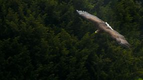 White-tailed Eagle (Haliaeetus albicilla) Stock Photos
