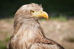 White tailed eagle / Haliaeetus albicilla Royalty Free Stock Image