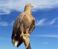 White-tailed eagle (Haliaeetus albicilla) Stock Photography