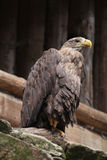 White-tailed eagle (Haliaeetus albicilla). Royalty Free Stock Photos