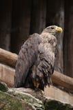 White-tailed eagle (Haliaeetus albicilla). Royalty Free Stock Photos