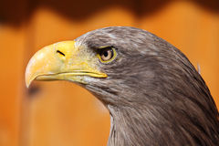 White-tailed eagle (Haliaeetus albicilla). Stock Image