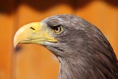 White-tailed eagle (Haliaeetus albicilla). Stock Image