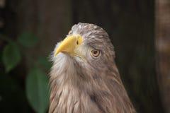 White-tailed eagle (Haliaeetus albicilla). Royalty Free Stock Images