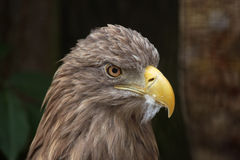 White-tailed eagle (Haliaeetus albicilla). Stock Photos
