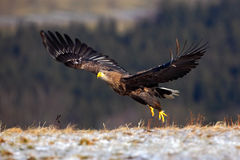 White-tailed Eagle, Haliaeetus albicilla, bird flight, birds of prey with forest in background, starting from the meadow with snow Stock Photos