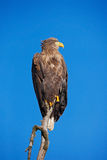 White-tailed Eagle, Haliaeetus albicilla, bird of prey with blue sky in background, Norway Royalty Free Stock Image