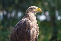 The white-tailed eagle Haliaeetus albicilla. royalty free stock photos