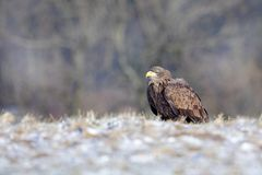White-tailed Eagle, Haliaeetus albicilla, bird in snowy meadow. Birds of prey with forest in background, starting from the meadow. Sweden Royalty Free Stock Photos