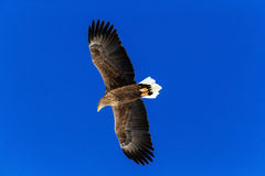 White-tailed eagle, Haliaeetus albicilla, bird on thy dark blue sky Stock Images