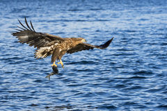 White-tailed eagle (Haliaeetus albicilla) catching fish Royalty Free Stock Photos