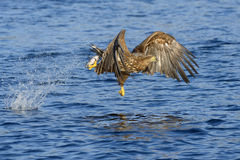White-tailed eagle (Haliaeetus albicilla) catching fish Stock Photos