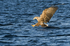 White-tailed eagle (Haliaeetus albicilla) catching fish Royalty Free Stock Photo
