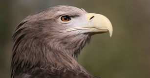White-tailed Eagle (Haliaeetus albicilla) Stock Photography