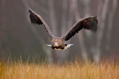 White-tailed Eagle, Haliaeetus albicilla, face flight, bird of prey with forest in background. Animal in the nature habitat, Norwa. Y Stock Photography