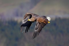 White-tailed Eagle, Haliaeetus albicilla, face flight, bird of prey with forest in background. Animal in the nature habitat, Swede. N Royalty Free Stock Photography