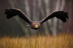 White-tailed Eagle, Haliaeetus albicilla, face flight, bird of prey with forest in background, animal in the nature habitat. Wildlife, Sweden royalty free stock photo