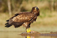 White-tailed Eagle, Haliaeetus albicilla, feeding kill fish in the water, with brown grass in background Stock Photography