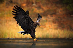White-tailed Eagle, Haliaeetus albicilla, feeding kill fish in the water, with brown grass in background, bird landing, eagle flig Stock Photography