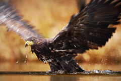 White-tailed Eagle, Haliaeetus albicilla, feeding kill fish in the water, with brown grass in background. Eagle start from the wat Stock Photos
