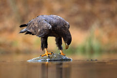 White-tailed Eagle, Haliaeetus albicilla, feeding kill fish in the water, with brown grass in background Royalty Free Stock Images