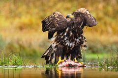 White-tailed Eagle, Haliaeetus albicilla, feeding kill fish in the water, with brown grass in background, Sweden. White-tailed Eagle, Haliaeetus albicilla Royalty Free Stock Photo