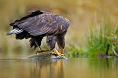 White-tailed Eagle, Haliaeetus albicilla, feeding kill fish in the water, with brown grass in background. Wildlife scene from natu Stock Photo