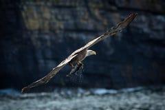 White-tailed Eagle (Haliaeetus albicilla) with Fish Royalty Free Stock Photos