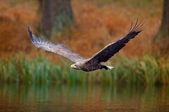 White-tailed Eagle, Haliaeetus albicilla, flight above the water river, bird of prey with forest in background, animal in the natu. Re Stock Photography