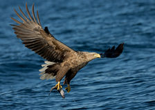 White-tailed eagle (Haliaeetus albicilla) in fligh. A White tailed Eagle (Haliaeetus albicilla) in flight with a catch (coal fish) in Norway royalty free stock photos