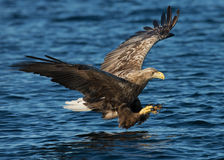 White-tailed eagle (Haliaeetus albicilla) in fligh Stock Photos