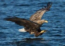 White-tailed eagle (Haliaeetus albicilla) in fligh Stock Photos
