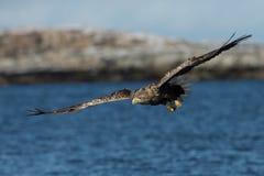 White-tailed eagle (Haliaeetus albicilla) in flight Stock Image