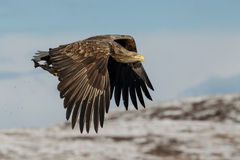 White-tailed eagle (Haliaeetus albicilla) in flight Stock Photography