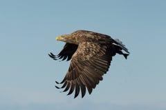 White-tailed eagle (Haliaeetus albicilla) in flight Stock Photo