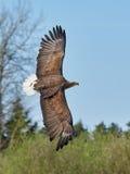 White-tailed eagle Haliaeetus albicilla Stock Photography