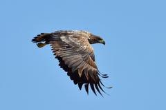 White tailed eagle (haliaeetus albicilla) Stock Photography