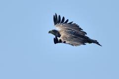 White tailed eagle (haliaeetus albicilla) Royalty Free Stock Photography