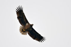 White tailed eagle (haliaeetus albicilla) Stock Photos