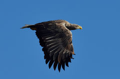 White tailed eagle (haliaeetus albicilla) Royalty Free Stock Photo