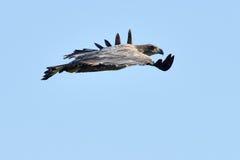 White tailed eagle (haliaeetus albicilla) Royalty Free Stock Photo
