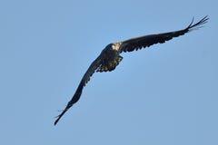 White tailed eagle (haliaeetus albicilla) Royalty Free Stock Images