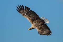 White-tailed Eagle (Haliaeetus albicilla) Royalty Free Stock Image