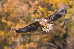 The White-tailed Eagle, Haliaeetus albicilla is flying in autumn color environment of wildlife. Also known as the Ern, Erne, Gray royalty free stock image