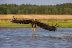 The White-tailed Eagle stock image