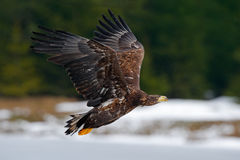 White-tailed eagle, Haliaeetus albicilla, flying bird of prey, snow in the forest habitat, starting from the ice Royalty Free Stock Image