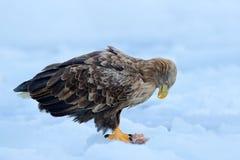 White-tailed eagle, Haliaeetus albicilla, Hokkaido, Japan. Action wildlife scene on ice.  Bird in nature sea habitat, snow with ic. White-tailed eagle Royalty Free Stock Images