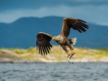 The White-tailed Eagle, Haliaeetus albicilla just has caught a fish from water, colorful environment of wildness. Also known as royalty free stock photography