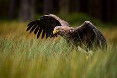 White-tailed Eagle - Haliaeetus albicilla. Large Euroasian bird of prey sitting in grass near the lake stock photo