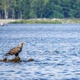 White-tailed eagle Haliaeetus albicilla. Sea eagle stock photo